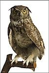 Close-up of an owl perched on a branch Stock Photo - Premium Royalty-Free, Artist: Glowimages               , Code: 640-02768203