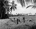 1920s 1930s 7 BALINESE WORKERS IN RICE PADDY DURING HARVEST HARVESTING FARM FARMING AGRICULTURE BALI INDONESIA