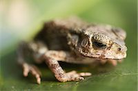 Baby Toad, Ubon Ratchathani, Thailand    Stock Photo - Premium Rights-Managednull, Code: 700-02798078