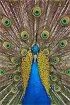 Portrait of Male Indian Peacock