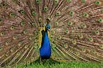 Portrait of Male Indian Peacock Stock Photo - Premium Royalty-Free, Artist: Christina Krutz, Code: 600-02801223