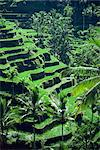 Rice terraces, Bali, Indonesia, Southeast Asia, Asia