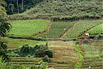 Vegetable growing, Cameron Highlands, Malaysia, Southeast Asia, Asia