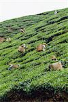 Tea picking, Cameron Highlands, Malaysia, Southeast Asia, Asia    Stock Photo - Premium Rights-Managed, Artist: Robert Harding Images, Code: 841-02825039