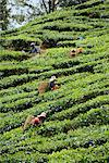 Tea picking, Cameron Highlands, Malaysia, Southeast Asia, Asia    Stock Photo - Premium Rights-Managed, Artist: Robert Harding Images, Code: 841-02825040