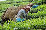 Tea picking, Cameron Highlands, Malaysia, Southeast Asia, Asia    Stock Photo - Premium Rights-Managed, Artist: Robert Harding Images, Code: 841-02825041