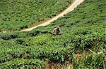 Tea picking, Cameron Highlands, Malaysia, Southeast Asia, Asia    Stock Photo - Premium Rights-Managed, Artist: Robert Harding Images, Code: 841-02825042
