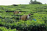 Tea picking, Cameron Highlands, Malaysia, Southeast Asia, Asia    Stock Photo - Premium Rights-Managed, Artist: Robert Harding Images, Code: 841-02825043