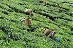 Tea picking, Cameron Highlands, Malaysia, Southeast Asia, Asia    Stock Photo - Premium Rights-Managed, Artist: Robert Harding Images, Code: 841-02825044