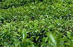 Tea bushes, Cameron Highlands, Malaysia, Southeast Asia, Asia