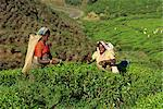 Tea plucking, Nuwara Eliya area, Sri Lanka, Asia    Stock Photo - Premium Rights-Managed, Artist: Robert Harding Images, Code: 841-02825830