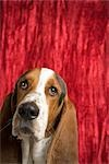 Basset Hound Stock Photo - Premium Royalty-Free, Artist: Chris Karges, Code: 600-02828442
