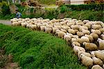 A shepherd leads his flock of sheep along a road at Belorado in a rural part of Burgos, Old Castile, Spain, Europe    Stock Photo - Premium Rights-Managed, Artist: Robert Harding Images, Code: 841-02831405