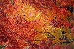 Maple tree's fall foliage, Canada, North America    Stock Photo - Premium Rights-Managed, Artist: Robert Harding Images, Code: 841-02832117