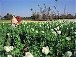 Field of opium poppies, grown under licence, near Chittorgarh, Rajasthan, India, Asia    Stock Photo - Premium Rights-Managed, Artist: Robert Harding Images, Code: 841-02832512