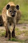 Hyena, Masai Mara, Kenya, Africa Stock Photo - Premium Rights-Managed, Artist: Ken & Michelle Dyball, Code: 700-02833664