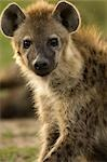 Hyena, Masai Mara, Kenya, Africa Stock Photo - Premium Rights-Managed, Artist: Ken & Michelle Dyball, Code: 700-02833666