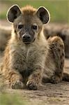 Hyena, Masai Mara, Kenya, Africa Stock Photo - Premium Rights-Managed, Artist: Ken & Michelle Dyball, Code: 700-02833667