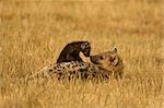 Mother and Young Hyena, Masai Mara, Kenya, Africa Stock Photo - Premium Rights-Managed, Artist: Ken & Michelle Dyball, Code: 700-02833670