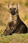 Hyena Cub, Masai Mara, Kenya, Africa Stock Photo - Premium Rights-Managed, Artist: Ken & Michelle Dyball, Code: 700-02833671