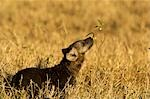 Hyena Cub Sniffing Plant, Masai Mara, Kenya, Africa Stock Photo - Premium Rights-Managed, Artist: Ken & Michelle Dyball, Code: 700-02833675