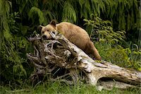 Young Grizzly Bear Sleeping on a Stump, Glendale Estuary, Knight Inlet, British Columbia, Canada Stock Photo - Premium Royalty-Freenull, Code: 600-02833768
