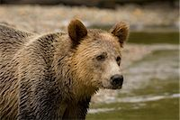 Male Grizzly Bear in Knight Inlet, British Columbia, Canada Stock Photo - Premium Royalty-Freenull, Code: 600-02833770