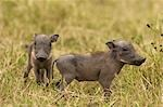 Warthog Piglets, Masai Mara, Kenya, Africa Stock Photo - Premium Rights-Managed, Artist: Ken & Michelle Dyball, Code: 700-02833734