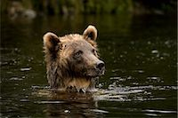 Young Female Grizzly Bear Searching for Salmon, Glendale River, Knight Inlet, British Columbia, Canada Stock Photo - Premium Rights-Managednull, Code: 700-02833742