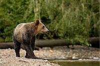 Young Male Grizzly Bear Walking Along Glendale River, Knight Inlet, British Columbia, Canada Stock Photo - Premium Rights-Managednull, Code: 700-02833743