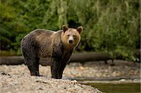 Young Male Grizzly Bear Standing by Glendale River, Knight Inlet, British Columbia, Canada Stock Photo - Premium Rights-Managednull, Code: 700-02833744