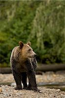 Young Male Grizzly Bear Standing by Glendale River, Knight Inlet, British Columbia, Canada Stock Photo - Premium Rights-Managednull, Code: 700-02833746