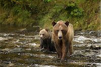 Mother Grizzly Bear and Cub in the Glendale River, Kinght Inlet, British Columbia, Canada Stock Photo - Premium Rights-Managednull, Code: 700-02833747