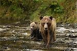 Mother Grizzly Bear and Cub in the Glendale River, Kinght Inlet, British Columbia, Canada Stock Photo - Premium Rights-Managed, Artist: Jamie Scarrow, Code: 700-02833747
