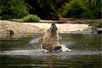 Male Grizzly Shaking the Water Out of His Ears, Glendale River, Knight Inlet, British Columbia, Canada Stock Photo - Premium Rights-Managednull, Code: 700-02833748