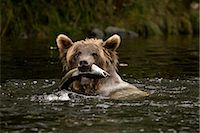 Young Female Grizzly Bear With a Pacific Pink Salmon in Her Mouth, Glendale River, Knight Inlet, British Columbia, Canada Stock Photo - Premium Rights-Managednull, Code: 700-02833750