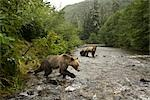 Young Male Grizzly Bear Lunging After Salmon in the Glendale River, Knight Inlet, British Columbia, Canada Stock Photo - Premium Rights-Managed, Artist: Jamie Scarrow, Code: 700-02833751