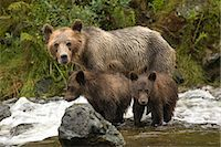 Mother Grizzly Bear and Cubs in the Glendale River, Kinght Inlet, British Columbia, Canada Stock Photo - Premium Rights-Managednull, Code: 700-02833752