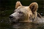Male Grizzly Bear Swimming in the Glendale River, Knight Inlet, British Columbia, Canada Stock Photo - Premium Rights-Managed, Artist: Jamie Scarrow, Code: 700-02833753