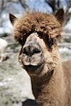 Portrait of Alpaca Stock Photo - Premium Royalty-Free, Artist: Angus Fergusson, Code: 600-02833805