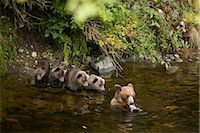 Mother Grizzly Bear and Cubs Fishing in Glendale River, Knight Inlet, British Columbia, Canada Stock Photo - Premium Rights-Managednull, Code: 700-02833991