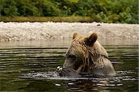 Male Grizzly Bear EatingSalmon in Glendale River, Knight Inlet, British Columbia, Canada Stock Photo - Premium Rights-Managednull, Code: 700-02833996