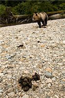 Grizzly Bear and Excrement, British Columbia, Canada Stock Photo - Premium Rights-Managednull, Code: 700-02833997