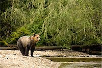 Young Male Grizzly on Riverbank, Glendale River, Knight Inlet, British Columbia, Canada Stock Photo - Premium Rights-Managednull, Code: 700-02834000