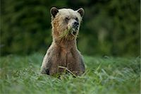 Male Grizzly Bear Eating Lyngbye's Sedge, Glendale Estuary, Knight Inlet, British Columbia, Canada Stock Photo - Premium Rights-Managednull, Code: 700-02834006