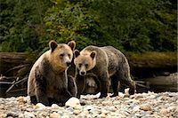 Two Young Grizzly Bears by Glendale River, Knight Inlet, British Columbia, Canada Stock Photo - Premium Rights-Managednull, Code: 700-02834007