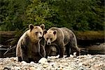 Two Young Grizzly Bears by Glendale River, Knight Inlet, British Columbia, Canada Stock Photo - Premium Rights-Managed, Artist: Jamie Scarrow, Code: 700-02834007