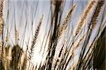 Timothy grass Stock Photo - Premium Royalty-Free, Artist: Aurora Photos            , Code: 653-02835688