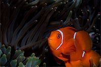 Close-up of anemone fish. Stock Photo - Premium Royalty-Freenull, Code: 614-02837447