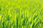 Close-up of Young Corn Field in Spring Stock Photo - Premium Royalty-Free, Artist: Raimund Linke, Code: 600-02860260